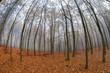 Fog in beech forest in autumn
