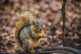 Squirrel perched on a log in the autumn, eating a nut - 182758089
