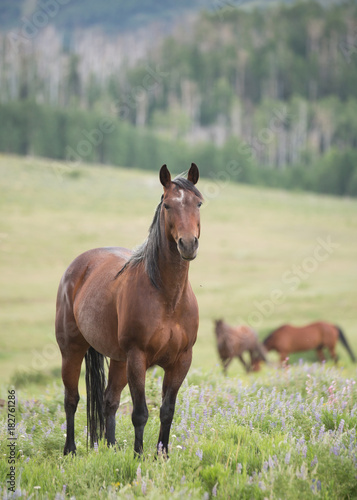 Dark brown horse standing in a green open meadow watching the camera intently with other horses in the background.