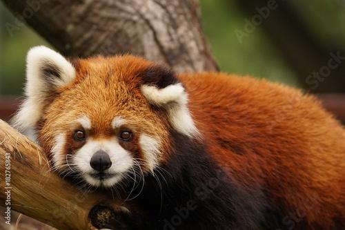 Plexiglas Panda レッサーパンダ