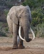 African Elephant with Very Long Tusks