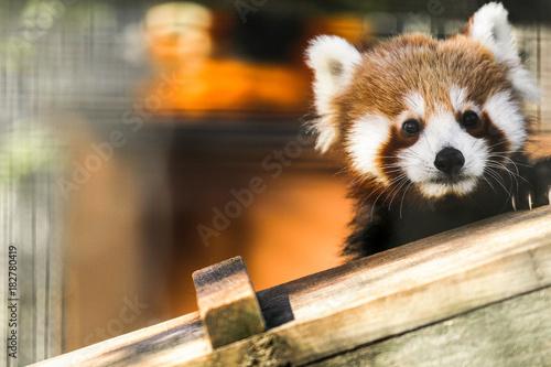 Fotobehang Panda Hello