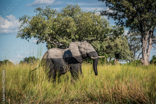 Elephant walking from the water Poster