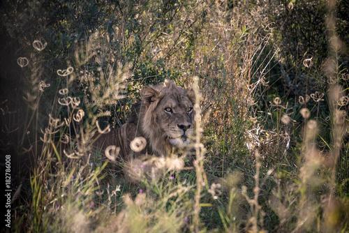 Fotobehang Lion Male lion hiding in long grass Botswana Africa