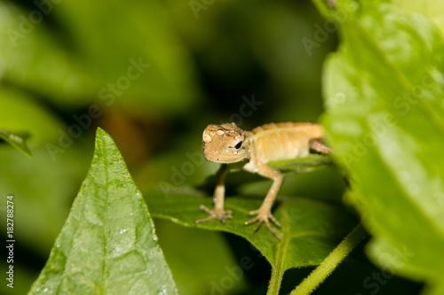 Aluminium Kameleon Chameleon with water drops on head after heavy rain