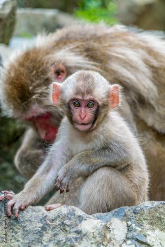 Fotobehang Aap Wild baby japanese Macaque (Macaca Fuscata) or Snow monkey. Jigokudani, Nagano Prefecture, Japan