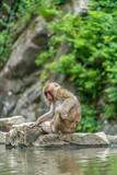 Wild japanese Macaque (Macaca Fuscata) or Snow monkey. Jigokudani, Nagano Prefecture, Japan - 182800651
