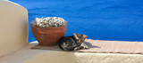 Santorin / Grèce - Chaton à Oia - 182806843