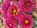 Pink chrysanthemums - 182815658
