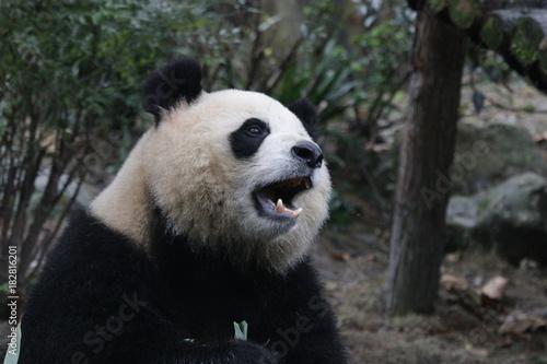 Fotobehang Panda Beautiful Giant Panda name Yuan Run, China