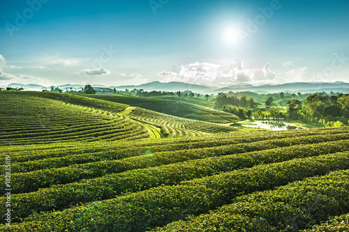 fototapeta na ścianę Beautiful landscape view of choui fong tea plantation with sunset at Maejan , tourist attraction at Chiangrai province in thailand