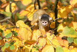 Squirrel monkey with autumn colored background - 182838844