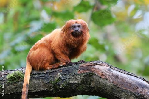 Fotobehang Lion Golden lion tamarin