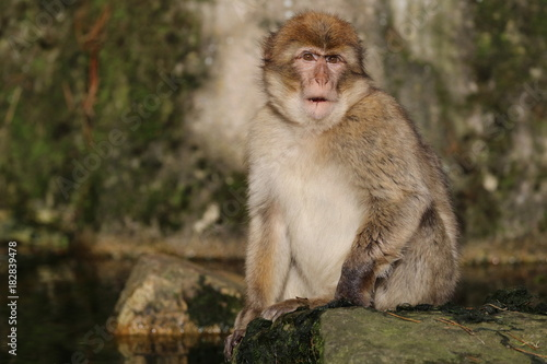 Tuinposter Marokko Barbary macaque