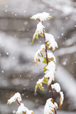 the leaves of the bush in the snow - 182842694