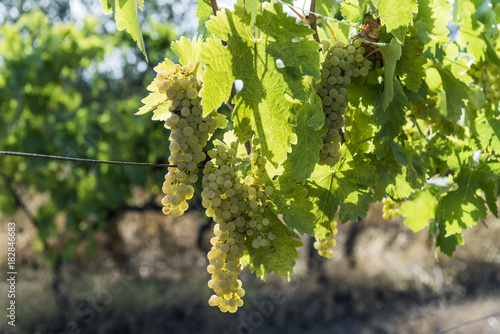 Staande foto Toscane White grape bunches on the vine