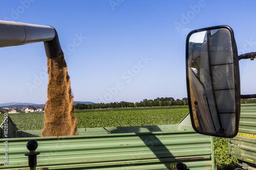 grain field with wheat at harvest - 182851255