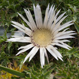 Alpine flower Carlina Acaulis (Stemless Carline Thistle) in summer. Carlina root has various medicinal properties. In the past it was used as an antidote for poison. - 182852233