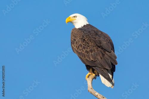 Aluminium Eagle Bald Ealge in Virginia perched on branch.