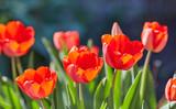 Tulip flowers in close up - 182856248