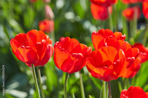 Aluminium Rood Tulip flowers in close up