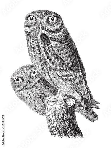 Fotobehang Uilen cartoon Little Owl (Athene noctua) / vintage illustration