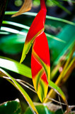 Heliconia bud - 182863410