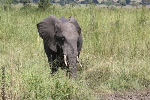 Elefante Poster