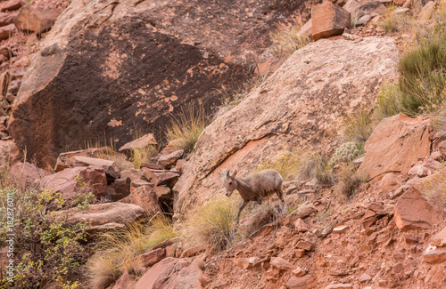 Foto op Canvas Zalm Baby Mountain Sheep Exiting Stage Left