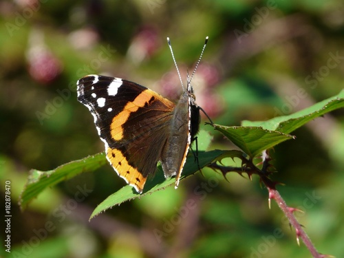 Fotobehang Vlinder papillon pays basque
