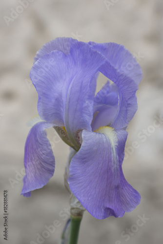 Fotobehang Iris Images from Northern/North Eastern France