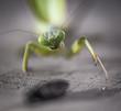 praying mantis macro