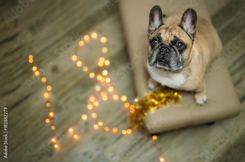 Foto op Plexiglas Franse bulldog background new year 2018 christmas, year dog, french bulldog