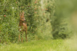 deer in apple trees - 182883046