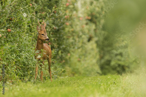 Fotobehang Hert deer in apple trees