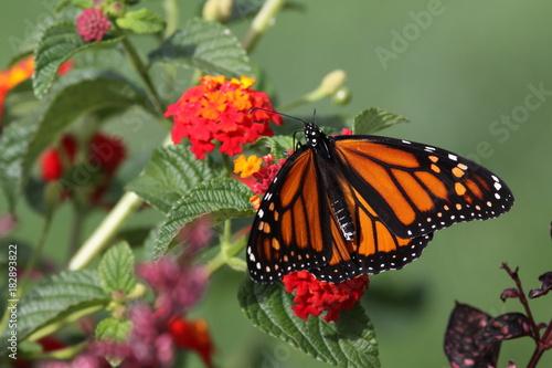 Fotobehang Vlinder Monarch - Closeup of Orange Butterfly