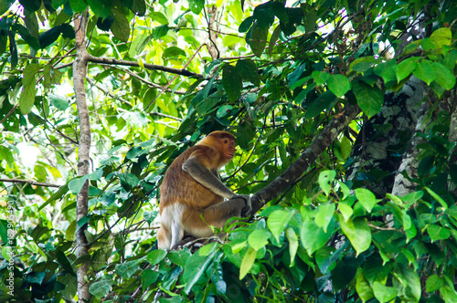 Fotobehang Aap Proboscis monkey or long nosed monkey (Nasalis larvatus) sit on the tree in the jungles of Borneo. Malaysia.