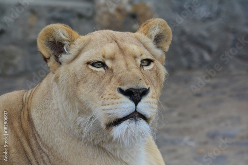 Young lioness looking straight Poster