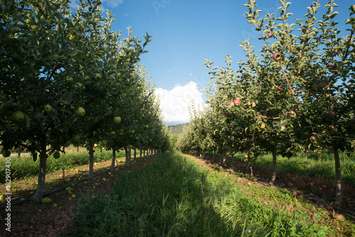 Plexiglas Lente Apple tree with apple fruit and sun beams in the okanagan valley
