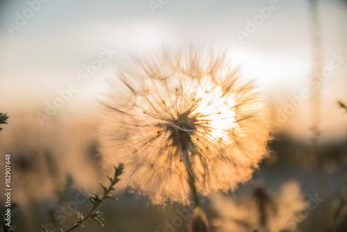 dandelion on sunset