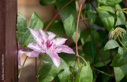 Plexiglas Azalea pink flower on a background of green leaves