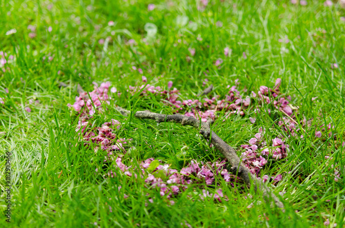 Romantic heart symbol made of pink Cercis siliquastrum flower petals crossed by a tree branch on green grass background.
