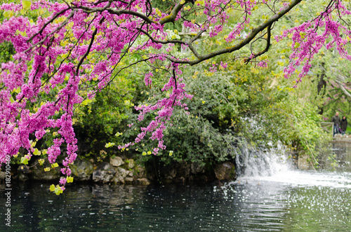 Violet blossoming Cercis siliquastrum plant and a fountain at El Capricho garden in Madrid (Spain)