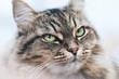 Green Eyed Cat Girl. Breed of cat Norsk Skogkatt also Skogkatter and Skovkatter or Wegie