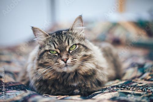 Fotobehang Kat Green Eyed Cat Girl. Breed of cat Norsk Skogkatt also Skogkatter and Skovkatter or Wegie