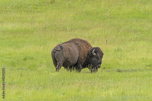 Plexiglas Bison American Bison in the Grasses in Spring