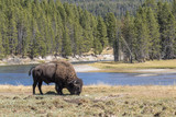 Male American bison (Bison bison) near theYellowstone River, Yellowstone National Park, Wyoming, USA. - 182914266