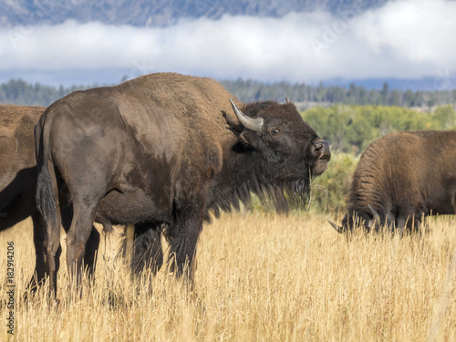 Plexiglas Bison American bisons (Bison bison) grazing in highland prairie, Grand Teton National Park, Wyoming, USA