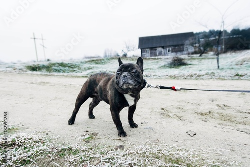 Staande foto Panter a dark French bulldog in winter