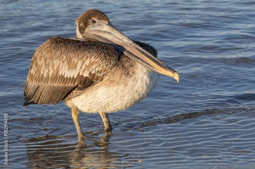Brown pelican (Pelecanus occidentalis) on the ocean beach, Galveston, Texas, USA Poster